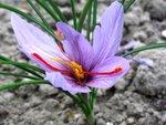 Cultivez votre safran (crocus sativus)