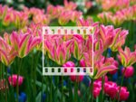 Tulipes : des fleurs pleines de fantaisie