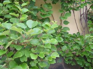 Actinidia planté contre un mur