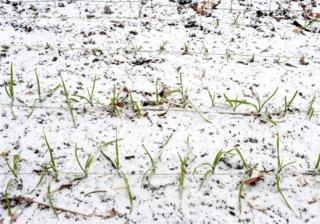 Ail sous la neige - Potager en décembre