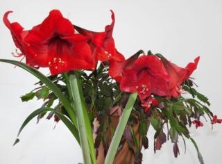 D coration de f tes quelles plantes fleuries pour no l for Amaryllis pour noel