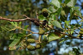 Aulne (Alnus glutinosa) en août