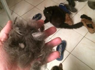Chute des poils chez le chat