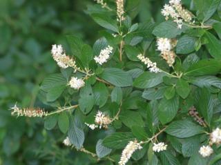 Clethra alnifolia : fleurs et feuillage en été