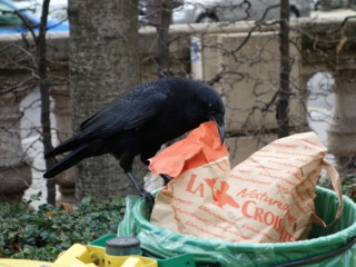 Corneille à la recherche de déchets dans une poubelle