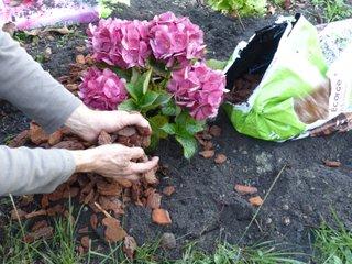 Paillage d'un pied d'hortensia avec de l'écorce