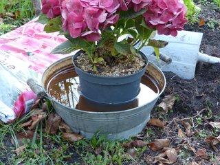 Trempage d'une motte d'hortensia avant plantation