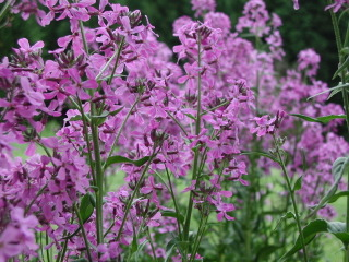 Julienne des dames, Hesperis matronalis : culture
