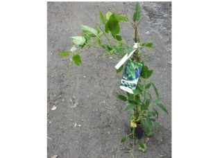 Jeune plant d'Actinidia arguta 'Issaï'