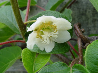Kiwi : fleur femelle