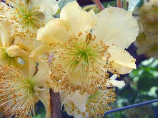 Actinia : fleurs mâles