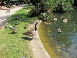 Nourrissage d'oiseaux d'eau par les passants