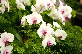 Phalaenopsis et capillaire