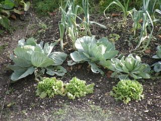 Potager en hiver : salades, choux et poireaux
