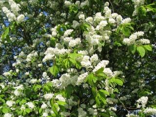 Cerisier à grappes, Prunus padus : culture, entretien