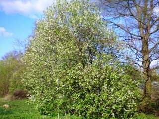 Prunus padus : forme naturelle en cépée