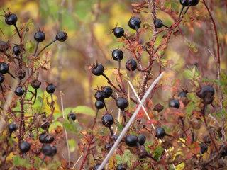 Rosa pimpinellifolia - Fruits en automne