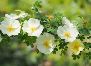 Rosiers botaniques : caractéristiques, atouts, espèces