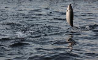 Saumon atlantique (Salmo salar)
