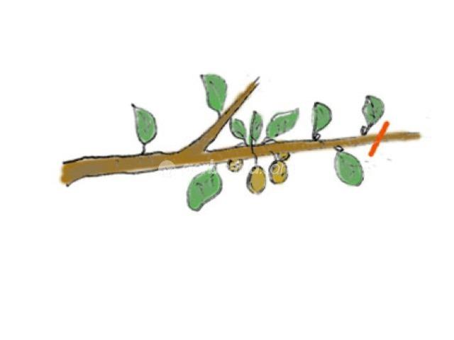 Kiwi comment avoir fleurs et fruits sur un actinidia for Taille d un abricotier fruits