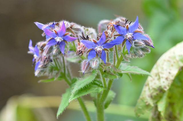 Fleurs comestibles à semer
