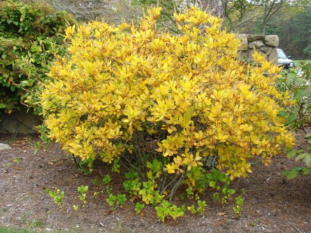 Clethra alnifolia : plantation, culture et entretien