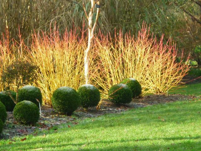 Cornouiller et buis (Des jardins beaux en hiver)