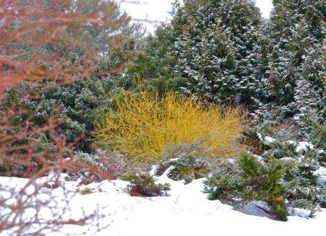 Cornus stolonifera en hiver (Des jardins beaux en hiver)