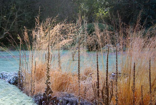 Graminées et molène sous le givre (Des jardins beaux en hiver)
