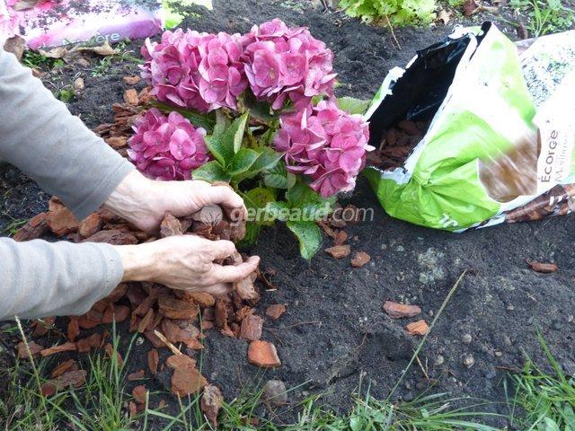 Ou Planter Un Hortensia - Maison Design - Midasus.com