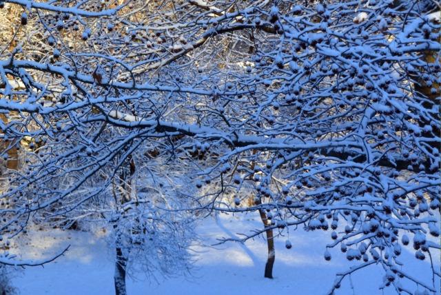 Fruits du liquidambar sous la neige (Des jardins beaux en hiver)
