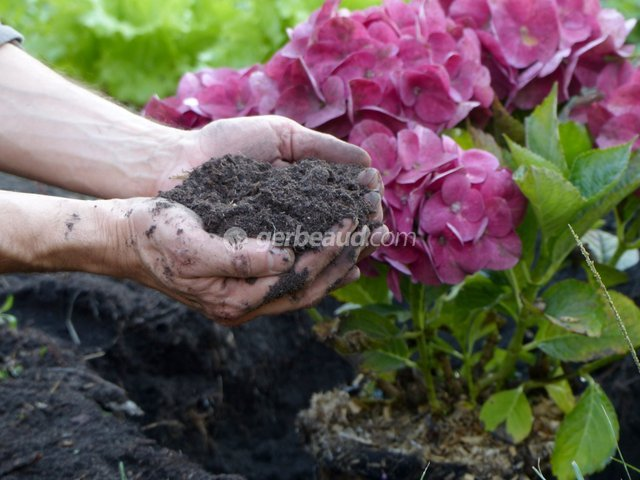 Hortensia : réussir la plantation