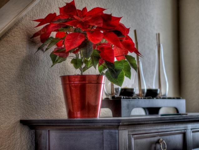 d coration de f tes quelles plantes fleuries pour no l. Black Bedroom Furniture Sets. Home Design Ideas