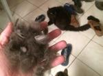 Chat : il perd ses poils, que faire ?