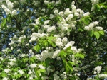 Cerisier à grappes, Prunus padus