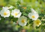 Les rosiers botaniques