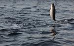 Y a-t-il encore des saumons et des esturgeons sauvages en France ?