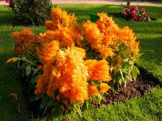 Celosia 'Plumosa' - Célosie