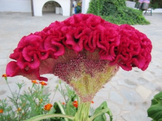 Célosie - Celosia 'Cristata'