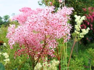 Filipendula rubra : floraison