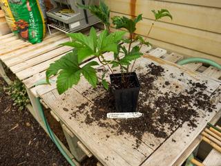 Filipendula rubra 'Venusta' : avant plantation