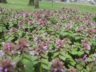 Tapis de lamier (Lamium purpureum)