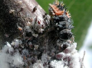Larve de coccinelle dévorant des pucerons lanigères
