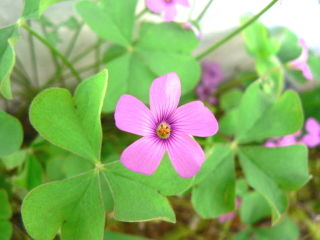 Oxalis articulata : fleur et feuilles