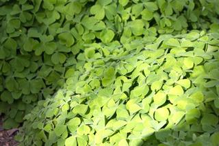 Oxalis articulata avant la floraison