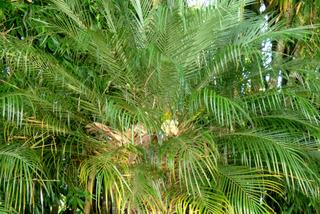 Phoenix roebelenii - Palmes
