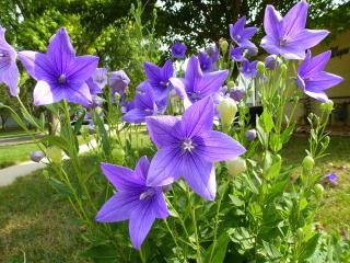 Platycodon : culture, semis et variétés