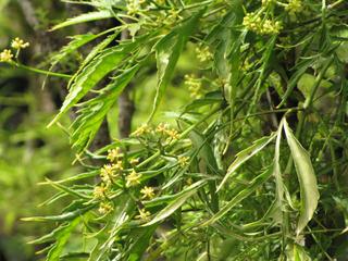 Polyscias filicifolia - Feuillage et fleurs