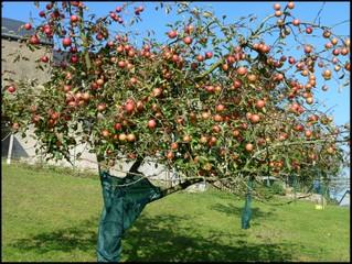 Pommier chargé de pommes