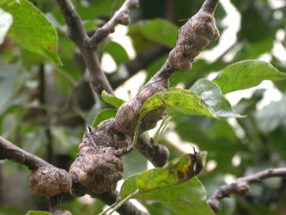Nodosités causées par la salive du puceron lanigère